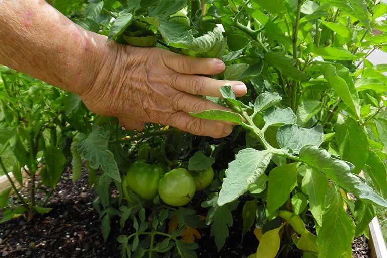 Nancy's tomatoes